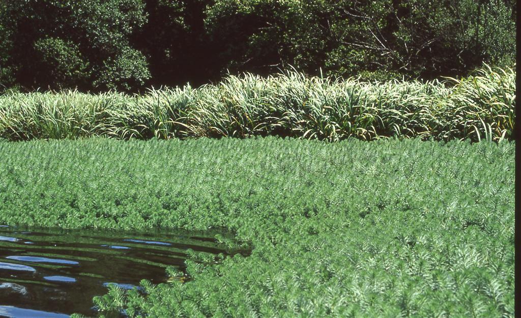 Myriophylle du Brésil - Myriophyllum aquaticum (c) Alain Dutartre - Centre de ressources EEE