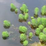 Myriophylle du Brésil - Myriophyllum aquaticum - Etang Léon (c) Alain Dutartre - Centre de ressources EEE