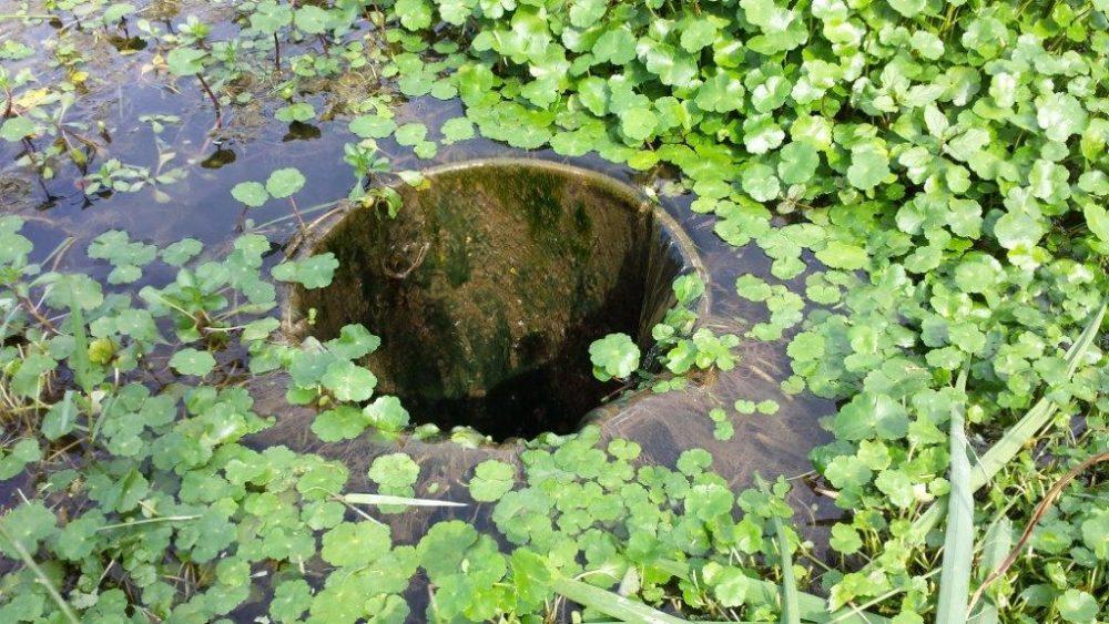 Hydrocotyle fausse renoncule - Hydrocotyle renonculoides (c) SM Bourret Boudigau - Centre de ressources EEE