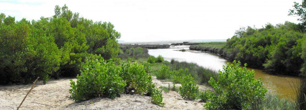 Baccharis à feuilles d'arroche - Baccharis halimifolia (c) CBNSA - Centre de ressources EEE