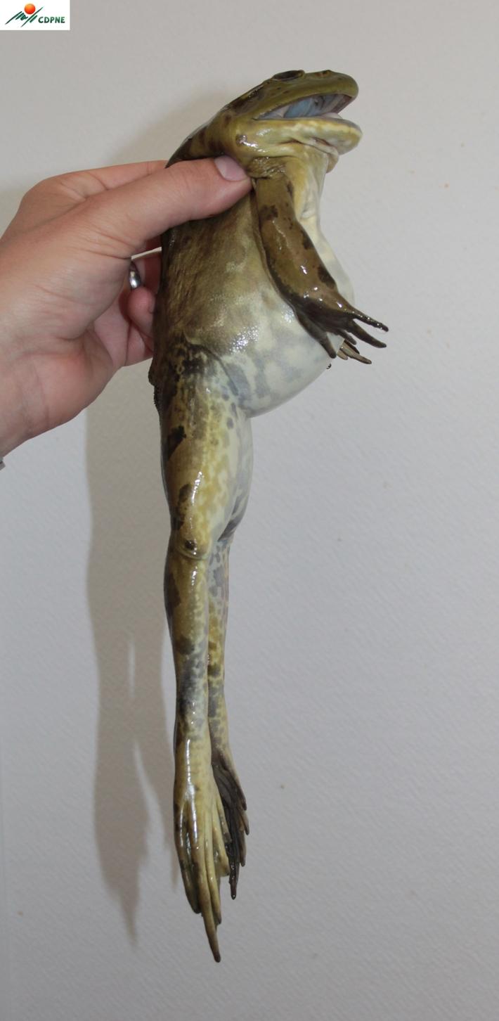 Grenouille taureau - Lithobates catesbeianus - femelle adulte 615 g (c) CDPNE - Centre de ressources EEE