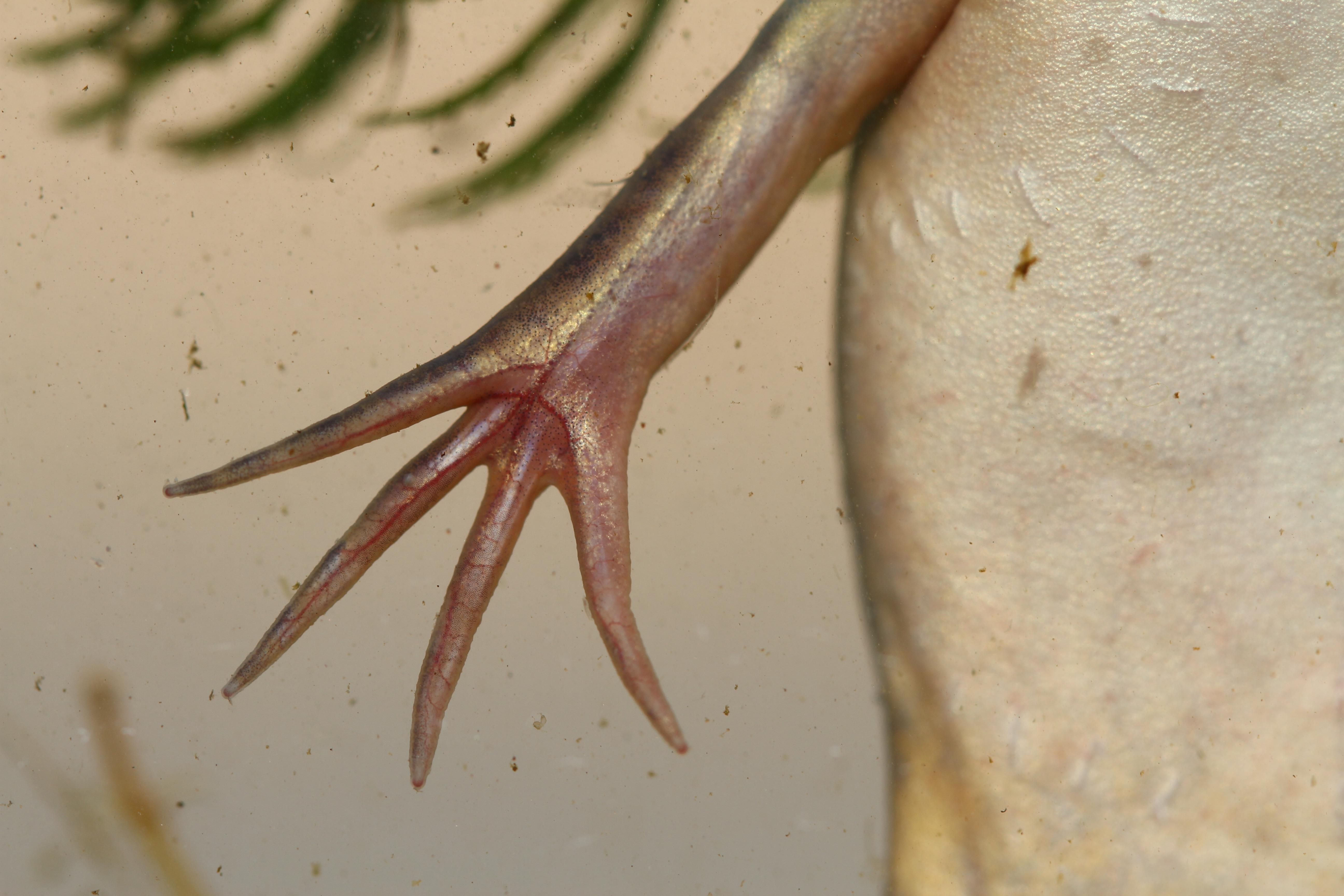 Xénope lisse - Xenopus laevis - patte avant (c) Guillaume Koch - Centre de ressources EEE