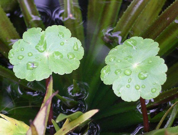 Hydrocotyle ranunculoides - Franck-Bedouet
