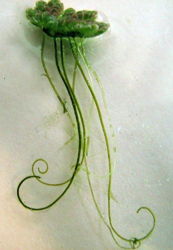 Azolla filiculoides - CABI