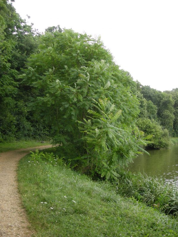 Ailanthus altissima - ANNABEL PORTE (INRA)