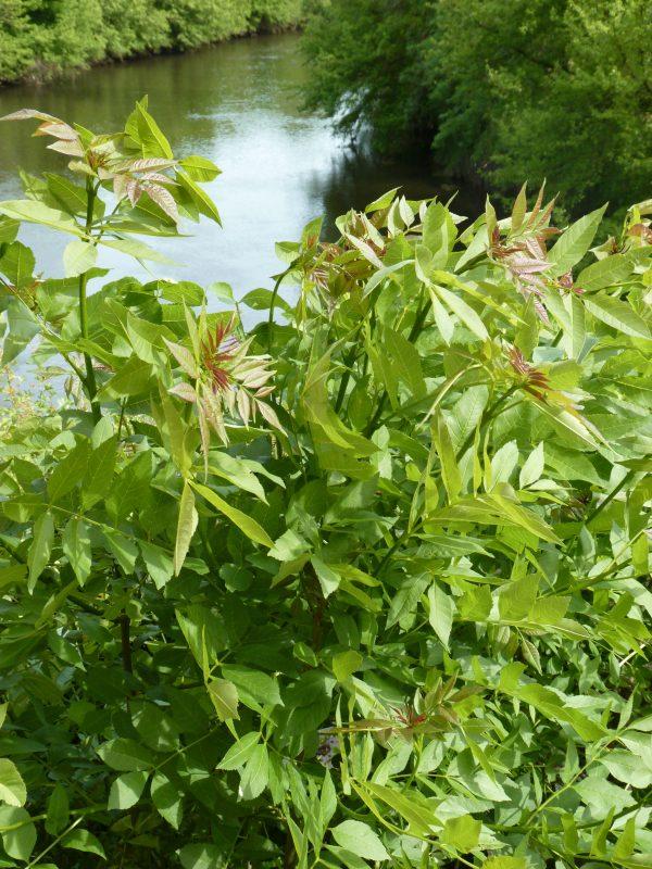 Ailanthus altissima - Emilie Mazaubert