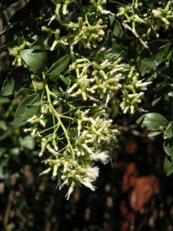 Baccharis halimifolia- JJ Milan