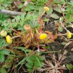 Cotula coronopifolia - Emilie Mazaubert