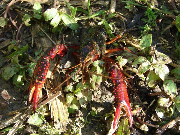 Procambarus clarkii- ELODIE RUSSIER DECOSTER