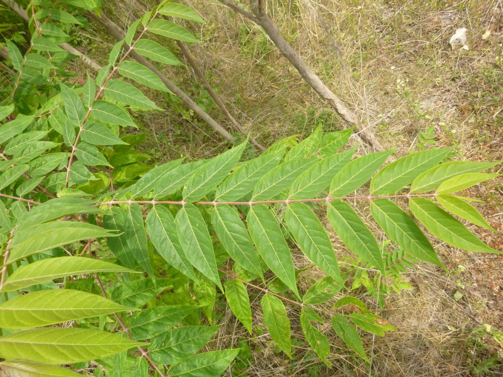 Ailanthus altissima - ELODIE RUSSIER DECOSTER