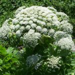 Heracleum mantegazzianum - Appaloosa
