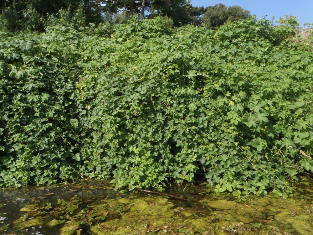 Humulus japonicus - J.Ph Reygrobellet SMAGE des Gardons