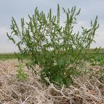 Ambrosia artemisiifolia - Inra-Observatoire des ambroisies