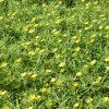 Ludwigia grandiflora - Alain Dutartre