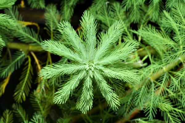 Myriophyllum aquaticum - AKA