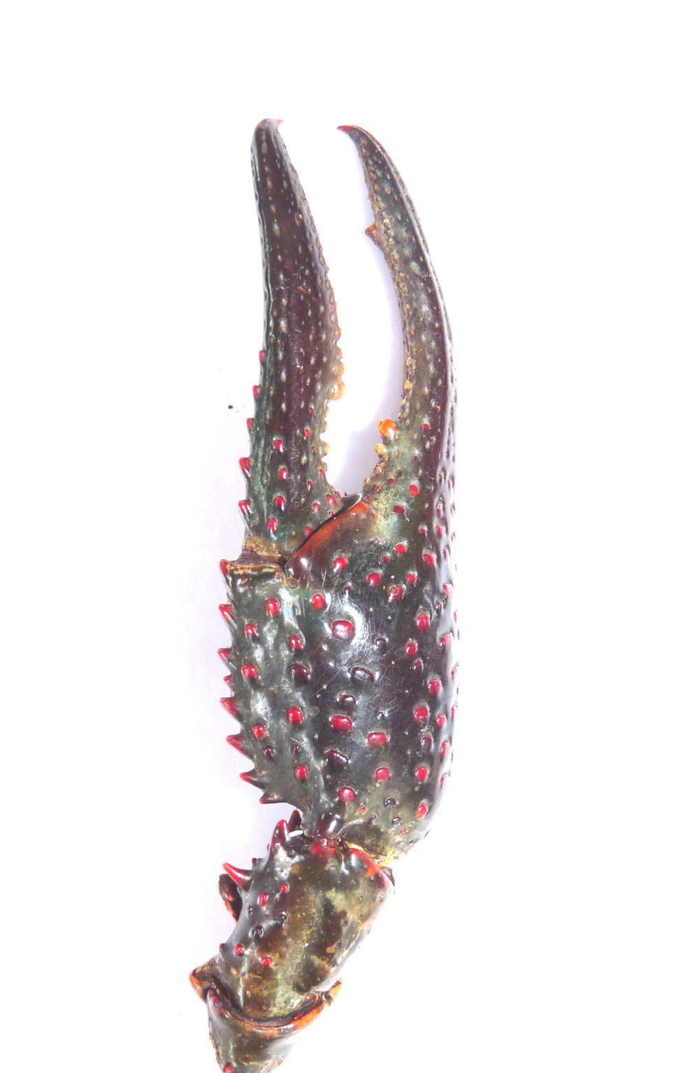 Procambarus clarkii- Pince - MARC COLLAS Onema