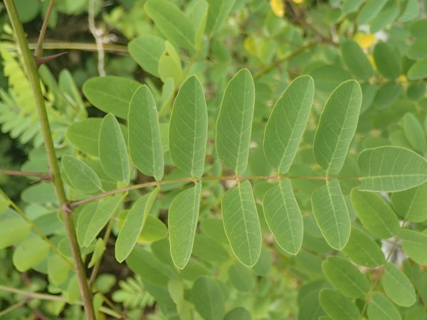 Robinia pseudacacia - Elodie Russier Decoster