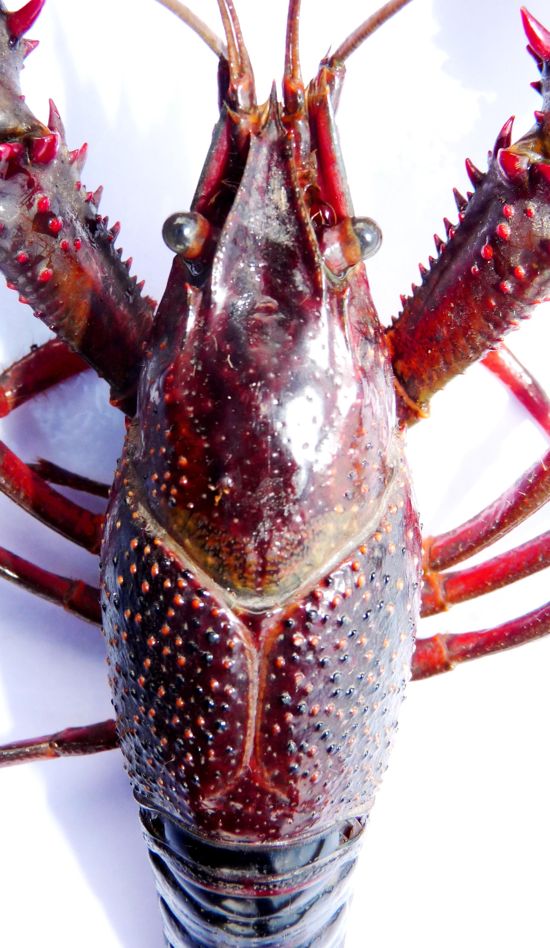 Procambarus clarkii- cephalothorax - MARC COLLAS