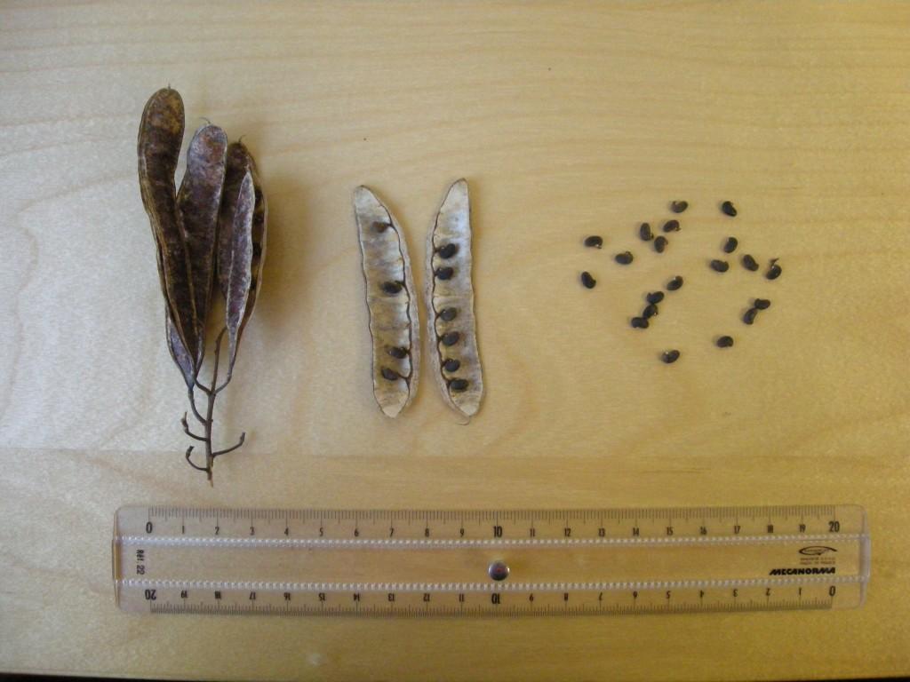 Robinia pseudacacia - ANNABLE PORTE (INRA)