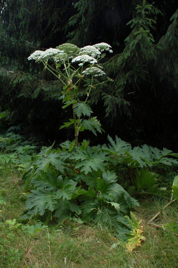Heracleum mantegazzianum - Farbenfreude