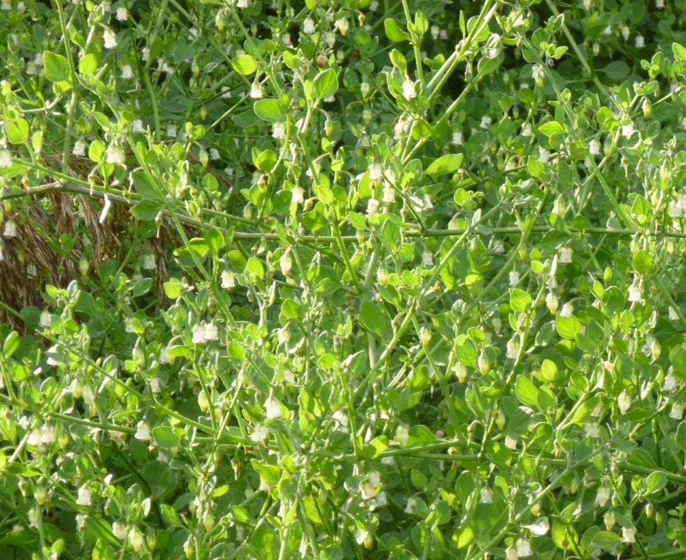 Salpichroa organifolia - JP Damien PNR Brière