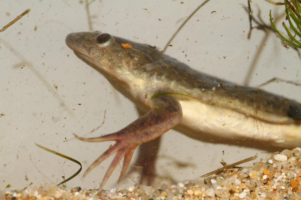 Xenopus laevis - Guillaume Koch