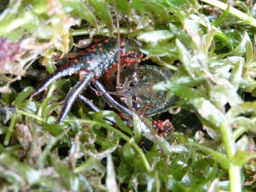 Procambarus clarkii - Emilie Mazaubert