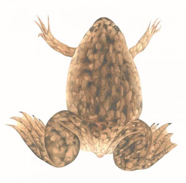 Xenopus laevis - Rémi Bouchet