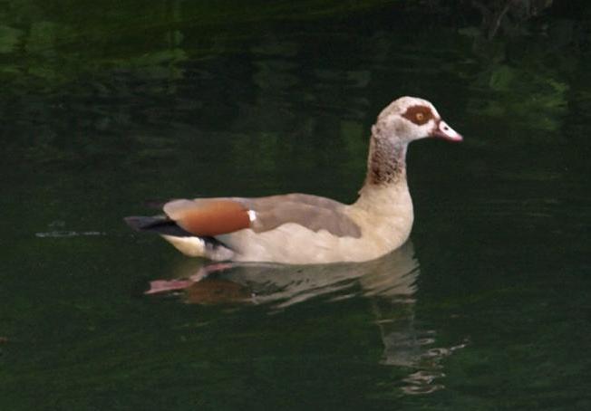 Alopochen aegyptiaca - Marion de Groot