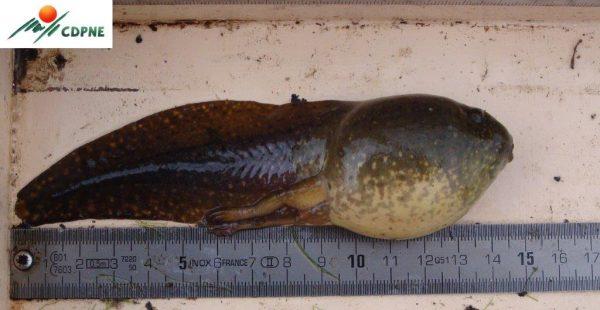 Lithobates catesbeianus - têtard - CDPNE