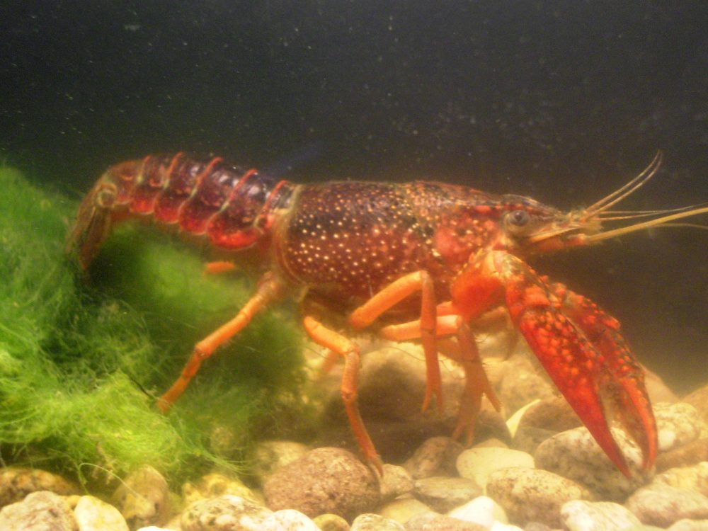 Procambarus clarkii - Marc Collas Onema