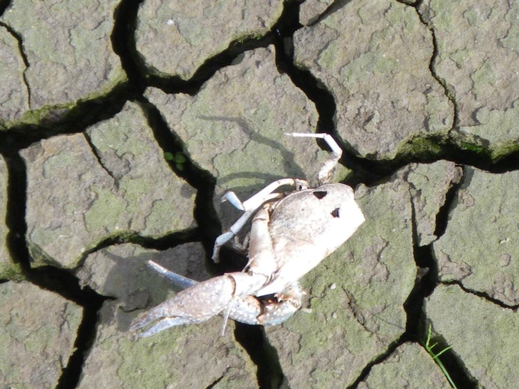 Procambarus clarkii - mortalité après mise en assec - Marc Collas Onema