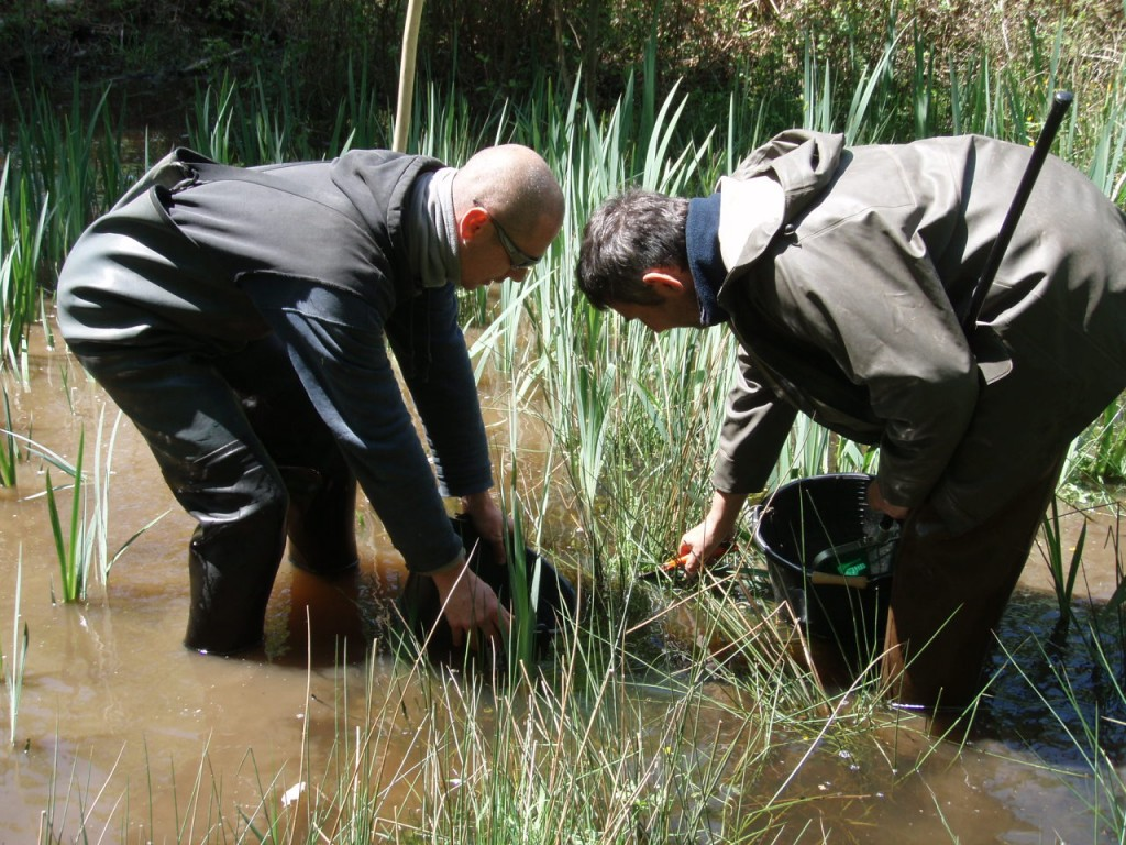 Lithobates catesbeianus - Prélèvement de pontes - SEBB