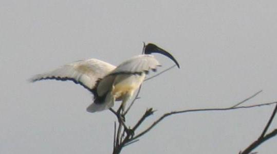 Threskiornis aethiopicus - ONCFS SD 44