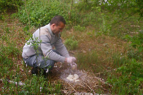 Branta canadensis - Stérilisation d'oeufs -Daniel Serre ONCFS