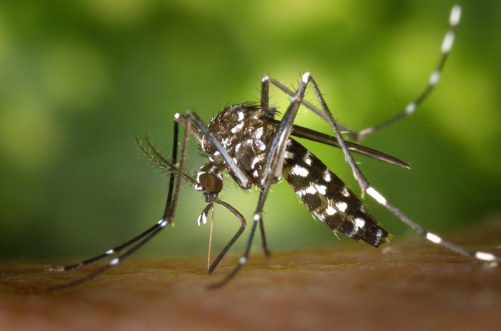 Aedes albopictus - Domaine public, par James Gathany - Center for Disease Control and Prevention