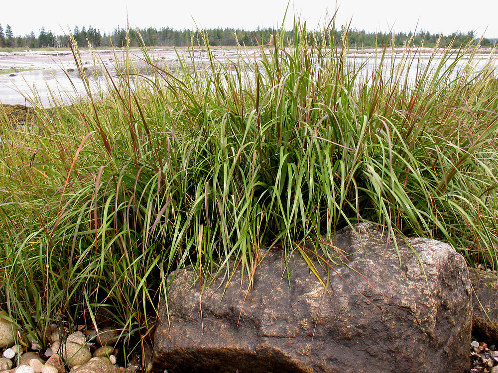 Spartina alterniflora - DR