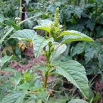 Amaranthus_retroflexus_bogdan