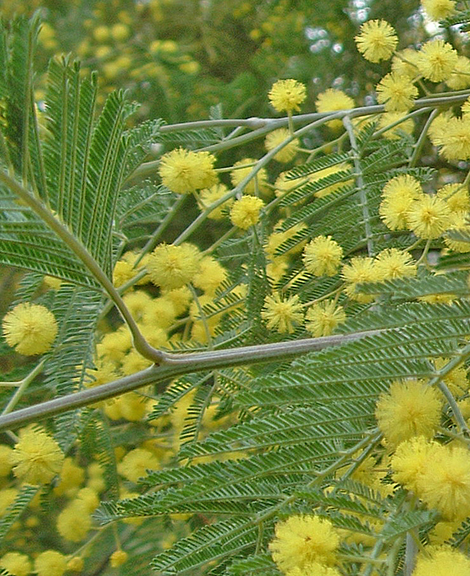 Acacia_dealbata_Bidgee