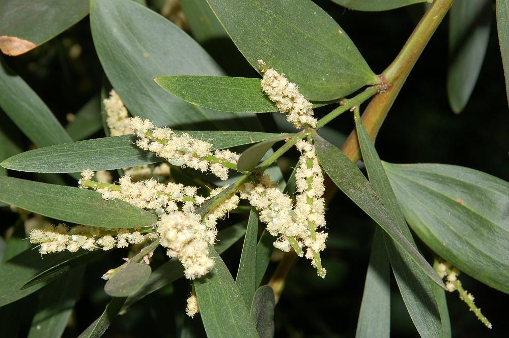 Acacia_longifolia - Fritz Geller-Grimm