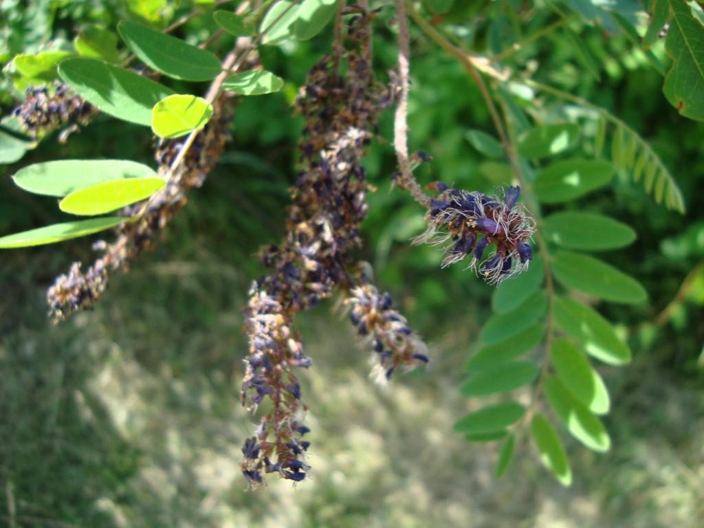 Amorpha fructicosa - Emilie Mazaubert