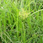 Cyperus_esculentus Blahedo