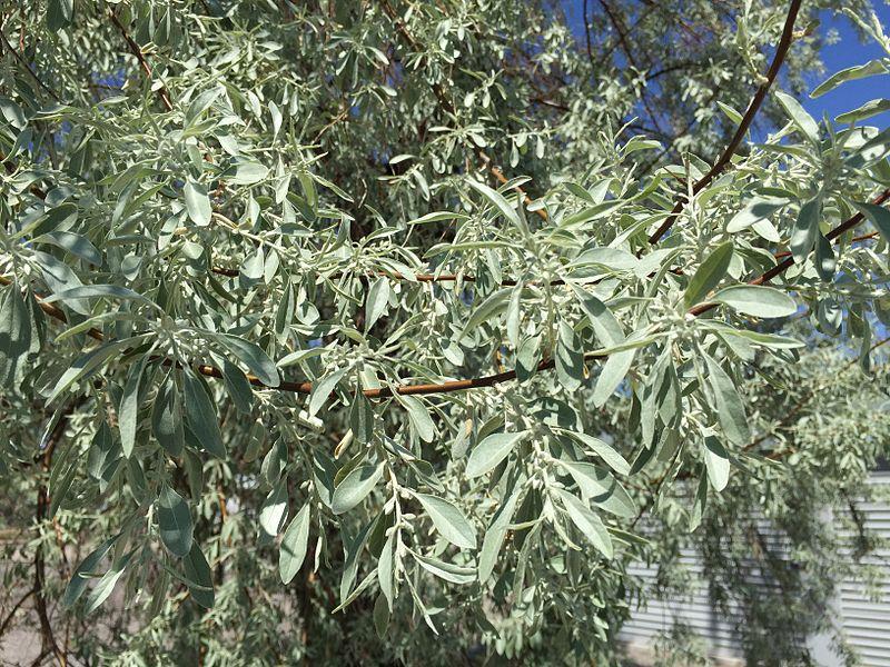 Elaeagnus angustifolia Famartin