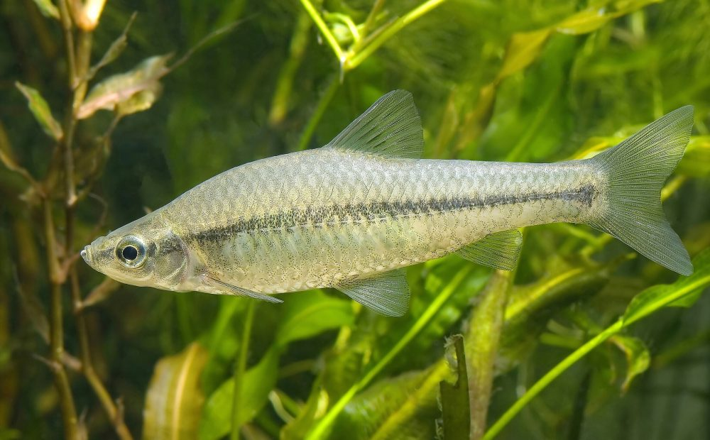 pseudorasbora_parva (c) - Seotaro, edited by Lycaon - Centre de ressources EEE - Un Pseudo-rasbora Pseudorasbora parva, collecté à Shizuoka, Japon, puis photographié dans un aquarium.