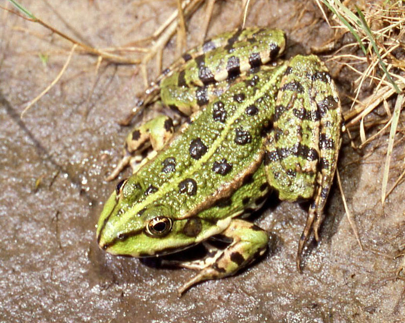 Jeune femelle Pelophylax ridibundus (c) Christian Fischer - Centre de ressources EEE