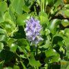 eichhornia-crassipes_pistia-stratiotes_saint-gilles-reunion_-gerard-peltre-7