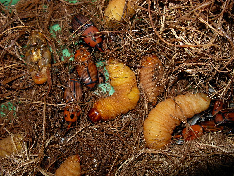 Rhynchophorus ferrugineus Charencon rouge des palmiers - (c) inconnu wikimedia commons - Centre de ressources EEE
