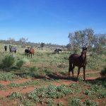 Chevaux Australie Brumbies - (c) Kersti Nebeksiek - Centre de ressources EEE