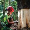 Ecorcage Acacia mangium - (c) Anna Stier - Centre de ressources EEE