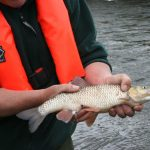 Specimen Chevesne Irlande - (c) Inland Fisheries Ireland - Centre de ressources EEE
